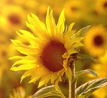 beautiful_sunflower_hd_picture_3_166950
