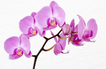 blaizinglotus_orchid_package