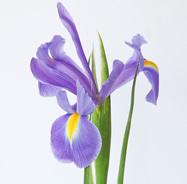 blue_iris_515159