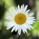 daisy_195959