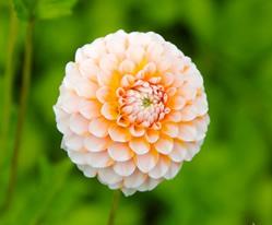 flower_dahlia_garden_plant_217742