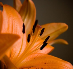 lilies_198827