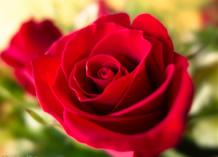 red_rose_516752