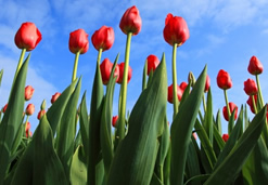 tulips_with_blue_sky_189383